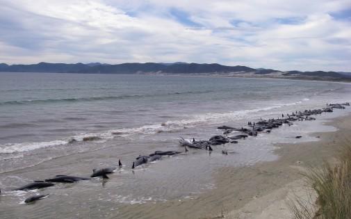7768558123_un-groupe-de-baleines-pilotes-qui-s-est-echoue-sur-une-plage-de-nouvelle-zelande-le-20-fevrier-2011