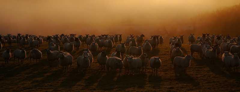 sheep-flock-22413-1920x1080.jpg