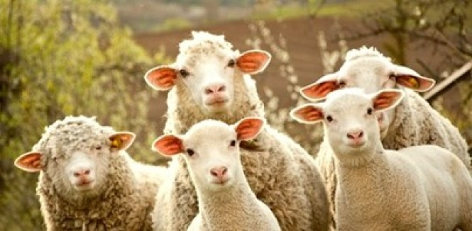 sheep-to-slaughter