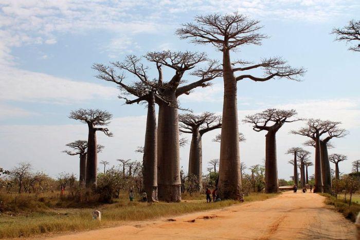 madagascar-allee-des-baobabs-1