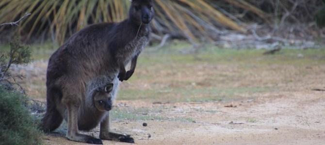 Australie – Méridionale – 3 jours sur Kangourou Island
