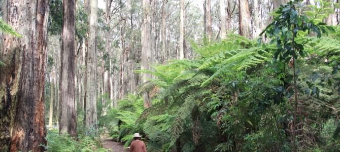 Australie – Victoria – Toolangi
