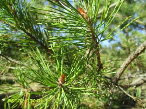 tratamentul comun al nucilor de pin