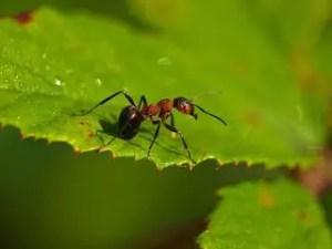 Comment se débarrasser des fourmis dans le jardin: conseils pratiques