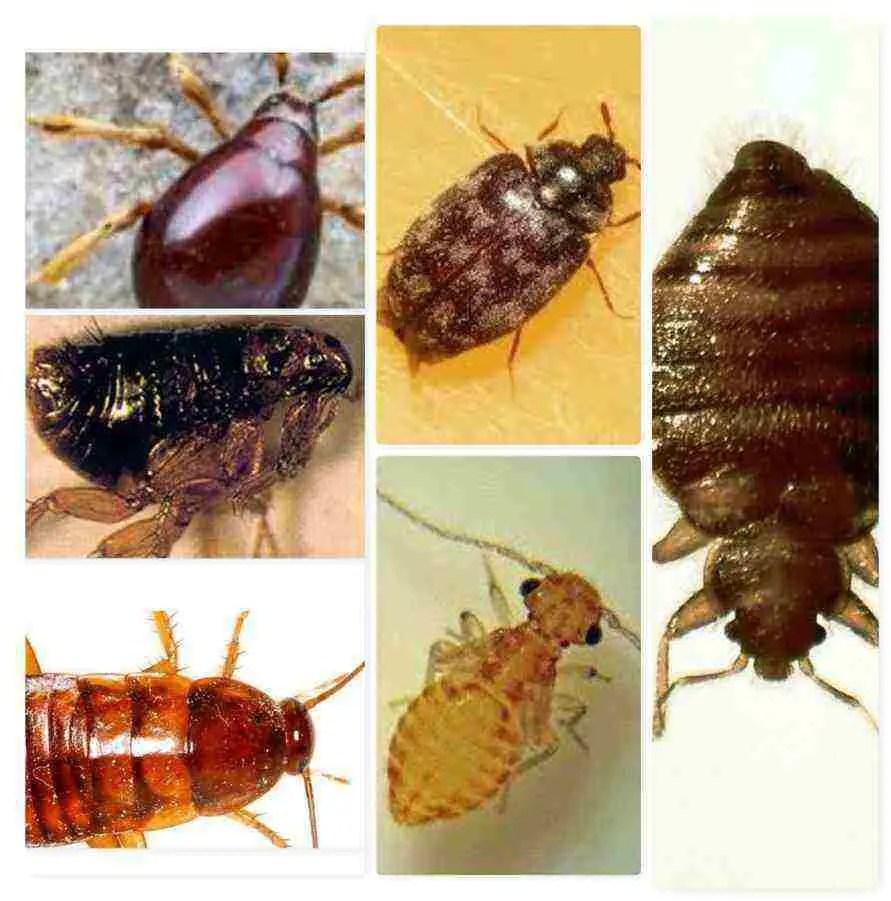 Insectes ressemblant aux punaises de lit
