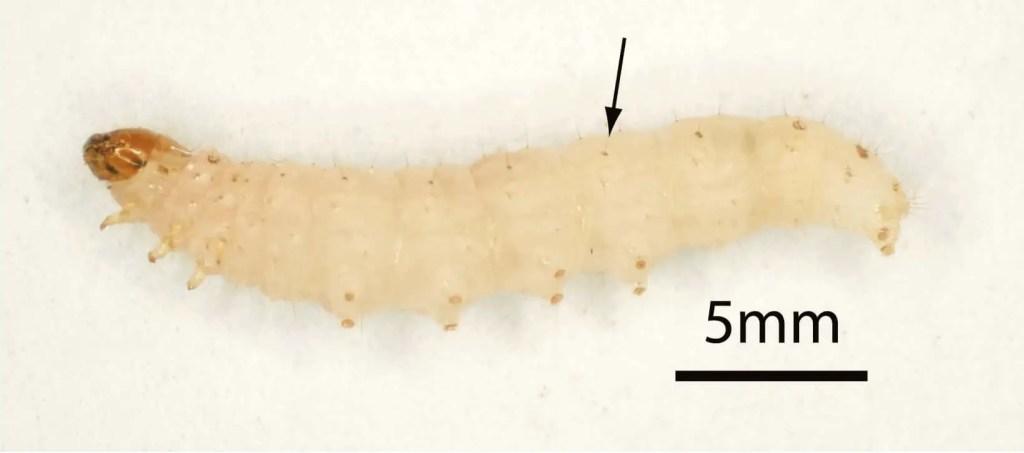 larve mite alimentaire