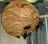 le nid des frelons asiatiques