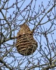 nid du frelon asiatique