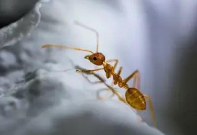 piqûre de fourmi rouge