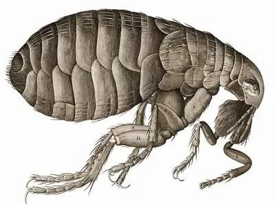 insectes qui piquent la nuit- puce
