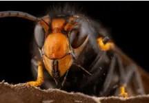 Reine des frelons asiatiques, la grande menace sur les abeilles