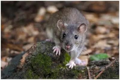 recette de grand-mère pour tuer les rats