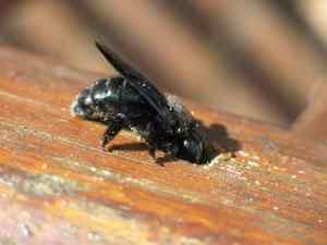 Comment se débarrasser des guêpes charpentières (abeille charpentière)