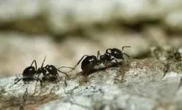 Deux fourmis qui se suivent