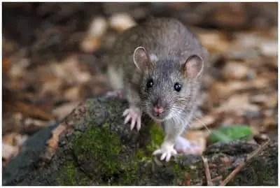 est-ce que les souris sont dangereuses