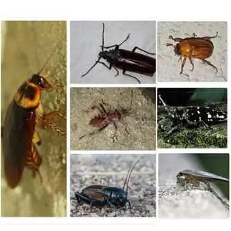 Insecte ressemblant au cafard (blatte)