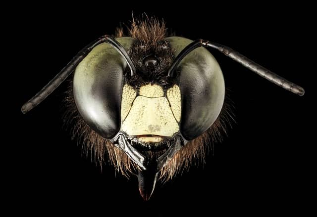 la face de l'abeille charpentière