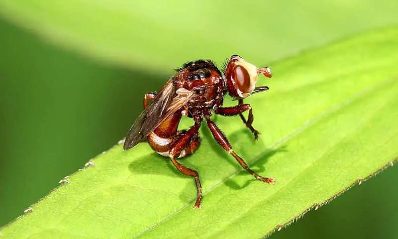 la mouche conopidae