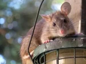 Les souris sont-elles dangereuses?