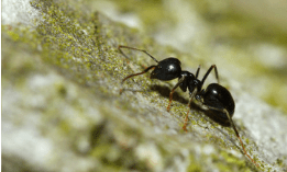 une petite fourmi noire