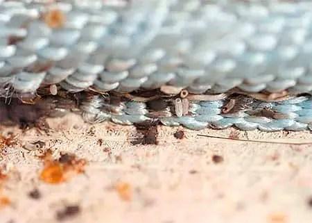 cimex œufs sous le matelas