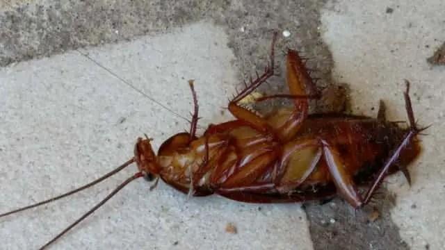 Quels sont les différents types de cafards (blattes) en France