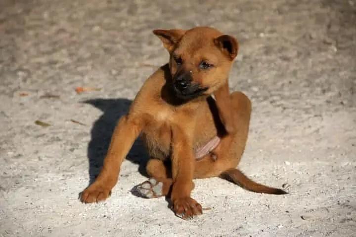 un chien avec des puces