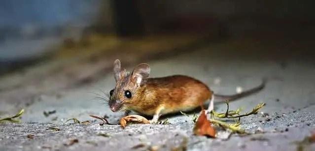 une souris qui marche