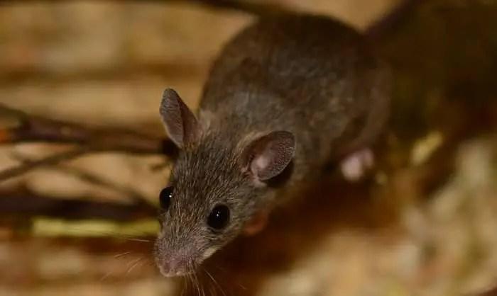 une souris de maison