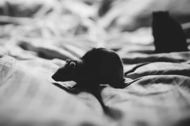 une souris sur un lit