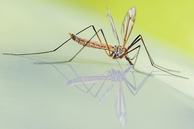 Quelle est la durée de vie d'un moustique