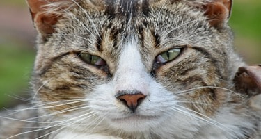 Comment savoir si mon chat a des puces