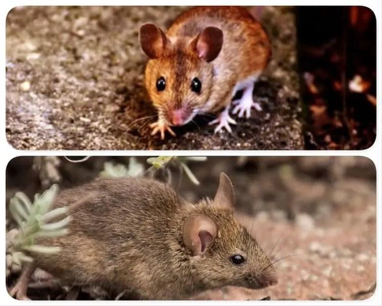 Différence entre souris et mulot