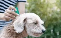 traiter les puces d'un chien