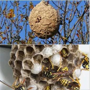 Différence entre un nid de frelon européen et asiatique