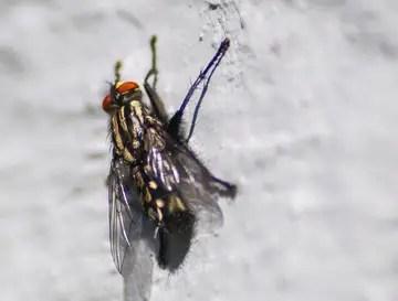 la mouche d'automne