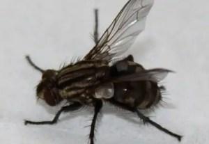 Durée de vie d'une mouche en moyenne