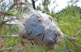 Comment se débarrasser des nids de chenilles processionnaires ?