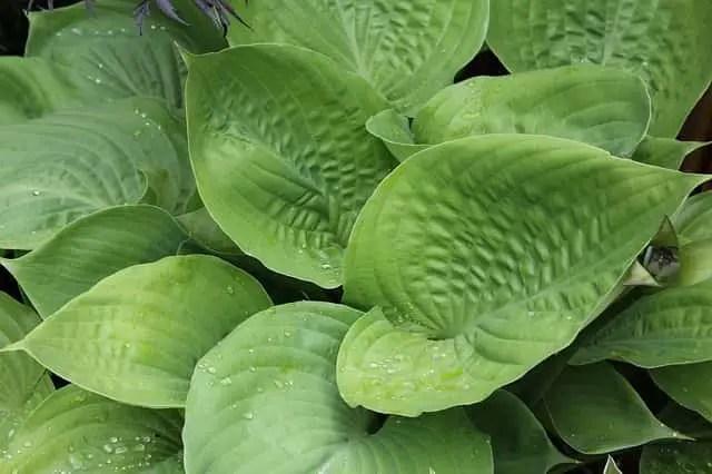 plante du plantain
