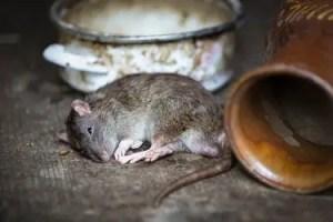 Poison mortel pour rat et souris ?