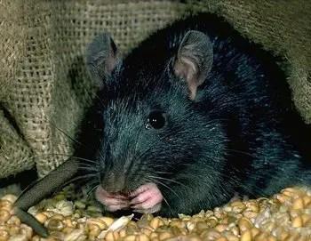 un rat noir