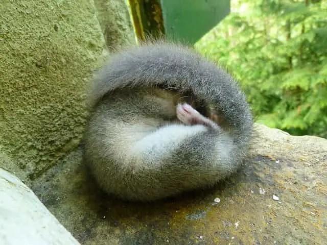 un loir gris endormi