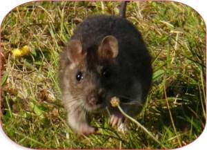 Read more about the article Quels sont les bons appâts aromatisés pour rats et rongeurs