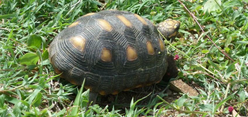 Une tortue en promenade
