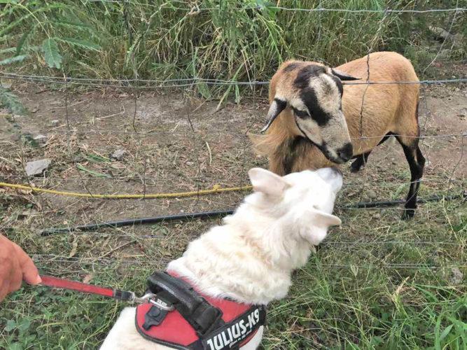 Eddy et la chèvre à Grande Anse d'Arlet