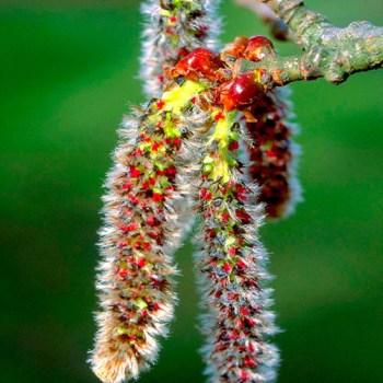 peur angoisses fleurs de bach aspen