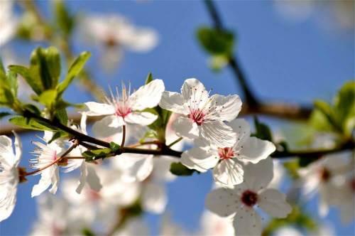 peur fleurs de bach cherry plum