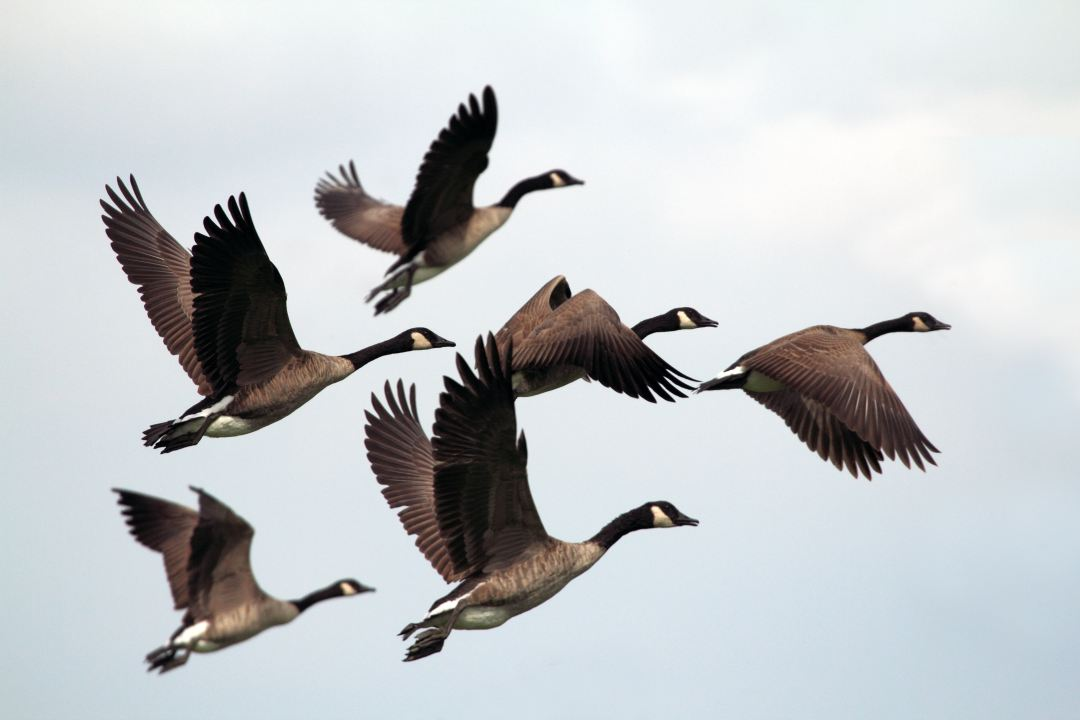 vol oiseaux