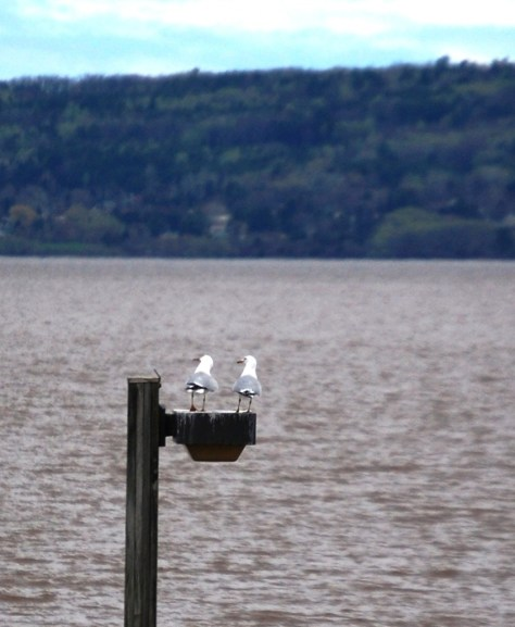 "A couple of seagulls ""converse"" as they enjoy the view over Lake Superior"
