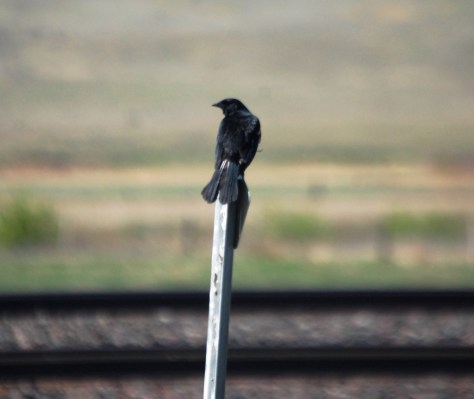 Blackbird perched on a post in Saco, MT